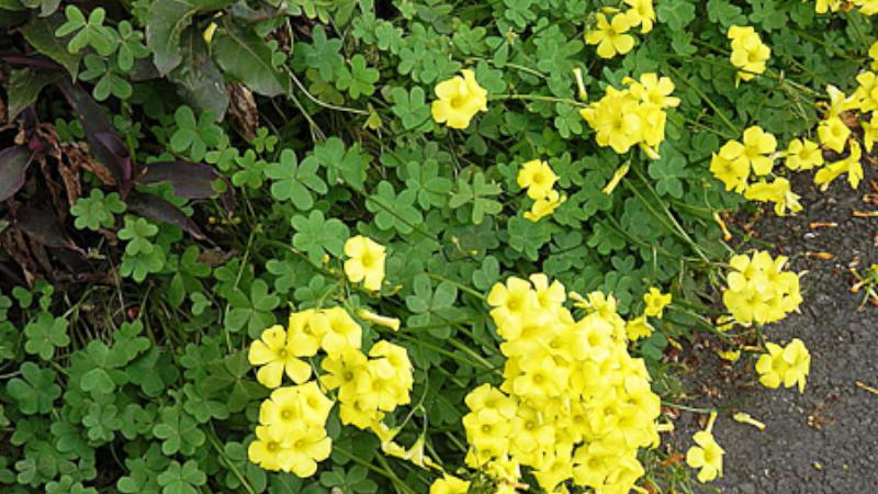 善福寺川流域の「帰化植物の観察」